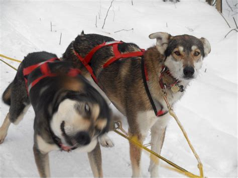 Sled Dog Central: Fun Photos - Page 51
