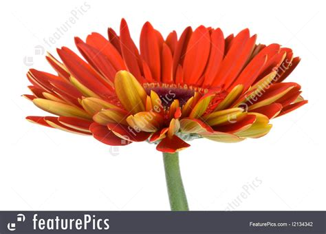 Flowers: Red Gerbera Flower Side View - Stock Picture