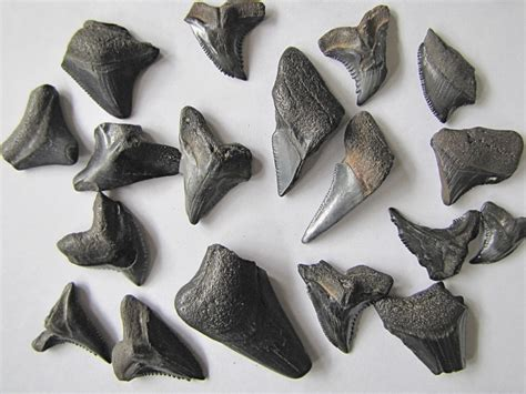 Fossil Hunting on the Peace River in Florida | hubpages