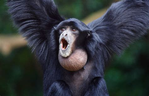Siamang Sounds & Calls | Wild Ambience Nature Sounds