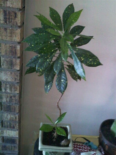 Dark Green Leaves, Long, Skinny Waxy With Yellow Specs